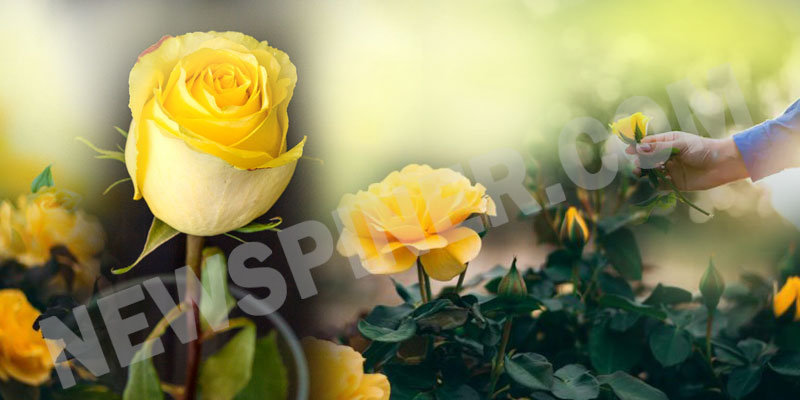 Yellow-Rose-Day